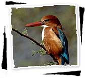 White-throated Kingfisher on Branch, Keoladeo Ghana Bird Sanctuary