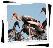 Painted Storks in Bharatpur Birds Sanctuary